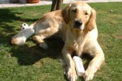Golden Retriever Ratgeber 2